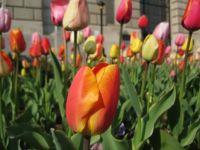 DC Tulips