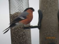 Male Bullfinch is a regular visitor to the feeders