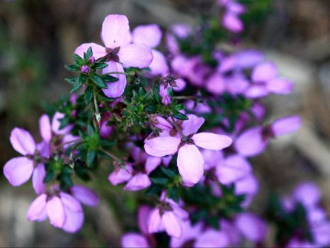 182_9329  Tetratheca thymifolia, Tremandraceae, aka Black-eyed Susan