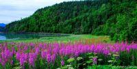 Fireweed 2 _ North to Alaska