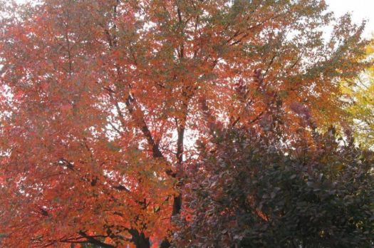 same tree, from the other side, 10/18/12