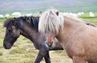 Icelandic Horses