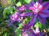 Another Clematis now blooming