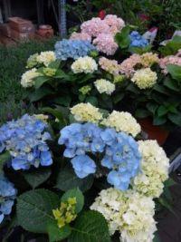 Hortenzie ve třech barvách...  Hydrangea in three colors ...
