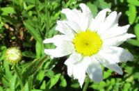 Daisy and dewdrops