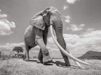Aging elephant