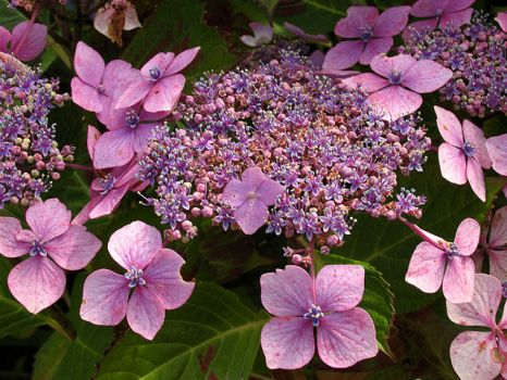 An hydrangea growing in the garden of the National Trust owned Tintagel Post Office,  Cornwall.  Photo by Pam Brophy