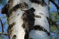 Male Flicker wood pecker.