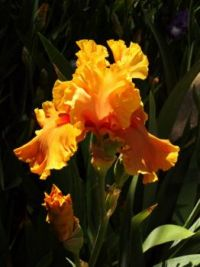 Sunny Orange Iris
