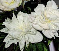 White Peony Blossoms