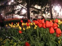 Tulips in the square, Verona, Italy