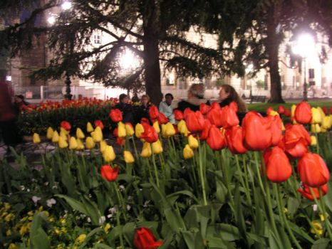 Tulips in the square, Verona, Italy