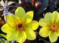 Yellow dahlia II