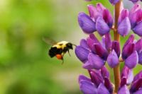 bee gathering nector