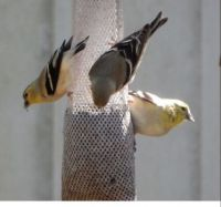 3 Goldfinches at Dad's Feeder !