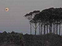 0423 Heron flies in front of moon