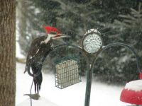 Pileated wookpecked came to visit