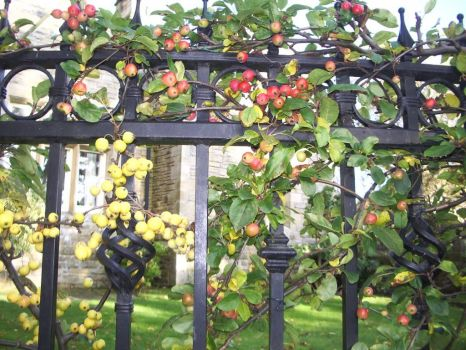 Autumn Berries on a fence