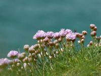 Klippen Flora, Cornwall