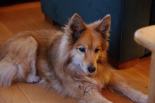 Goa IJslandse hond 14 jaar