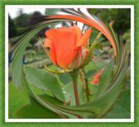 Růže - detail...  Roses - detail ...