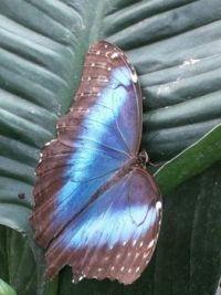Butterflies - ravishing in blue
