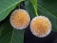 Kadam Flowers (Neolamarckia cadamba) in India