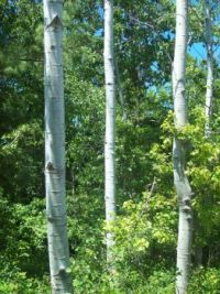 Birch Trees Upper Rouge Valley Scarborough ON.