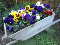 For Pammi:  Pansies in my wheelbarrow planter