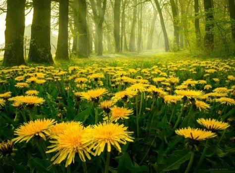 Pampeliškový les