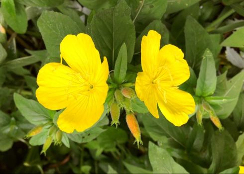 Daytime Sundrops from the family of Evening Primrose