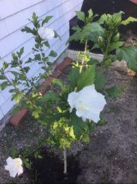 My new Rose of Sharon
