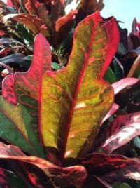 Nature's Palette - Crotons