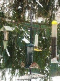 Pine Siskin and other finches