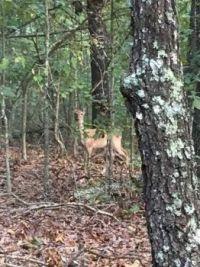 Doe, a Deer, a female Deer  #37