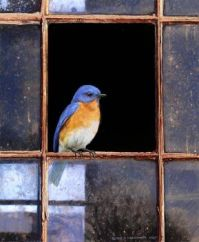Bluebird in Window