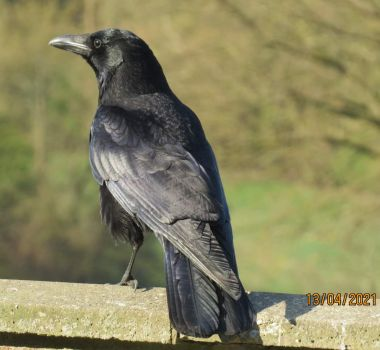 Crow on look-out duty.