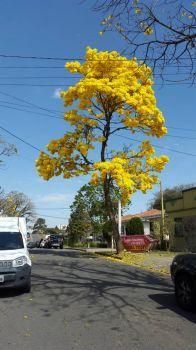 Ipê Amarelo - CWB
