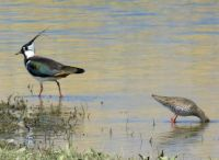 lapwing and redshank