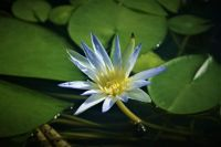 Pond Lillie