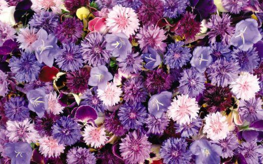 lots_of_violet_flowers