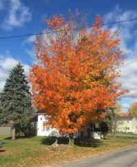 Fall foliage.2