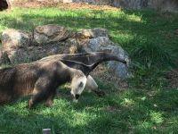 Anteater Gvle Zoo - IMG_0342