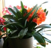 Clivia, amaryllis, poinsettia on snowy April day