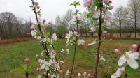 Cortland Apple Blossoms 2