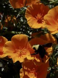 Bee on California poppy