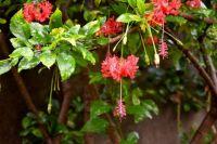 Caesalpinia Plant 2
