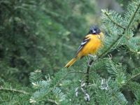 Baltimore Oriole in a tree