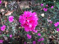 Leonard's Azaleas are in full bloom in December!