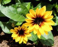 Mini Sunflowers in Pot